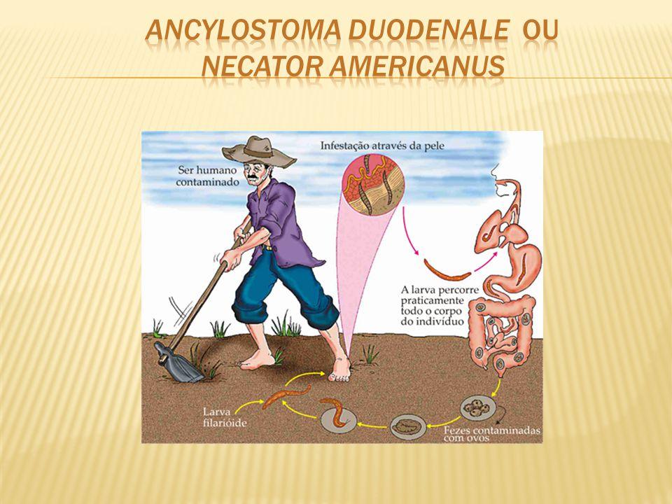 Ancylostoma duodenale ou Necator americanus
