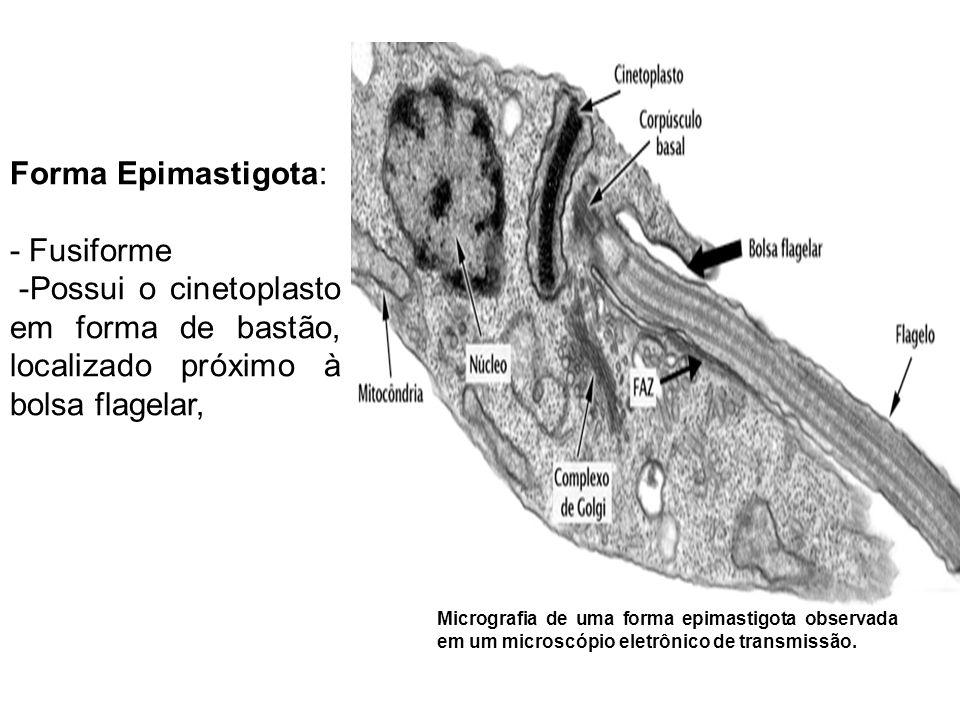 Forma Epimastigota: - Fusiforme