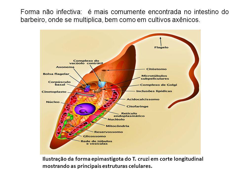 Forma não infectiva: é mais comumente encontrada no intestino do barbeiro, onde se multiplica, bem como em cultivos axênicos.