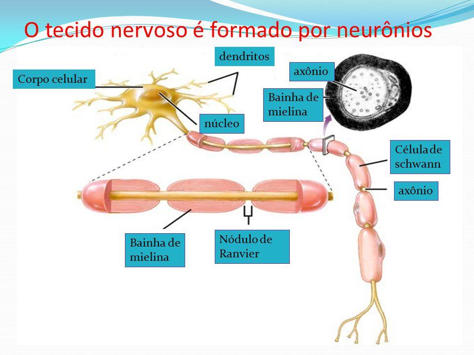O tecido nervoso é formado por neurônios