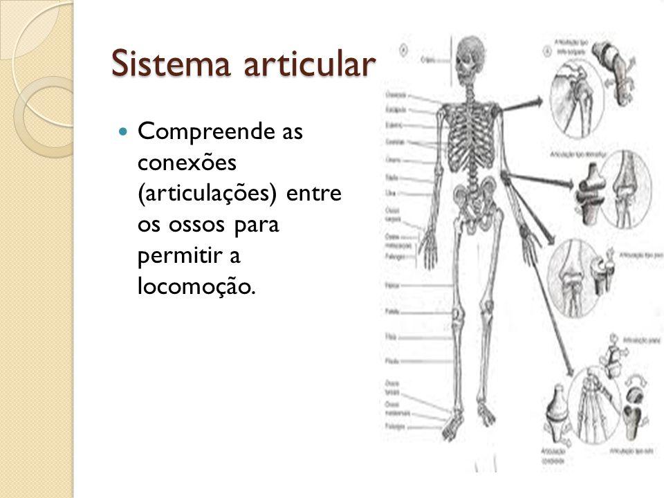 Sistema articular Compreende as conexões (articulações) entre os ossos para permitir a locomoção.