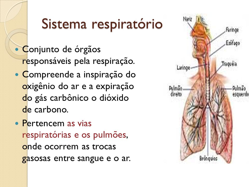 Sistema respiratório Conjunto de órgãos responsáveis pela respiração.