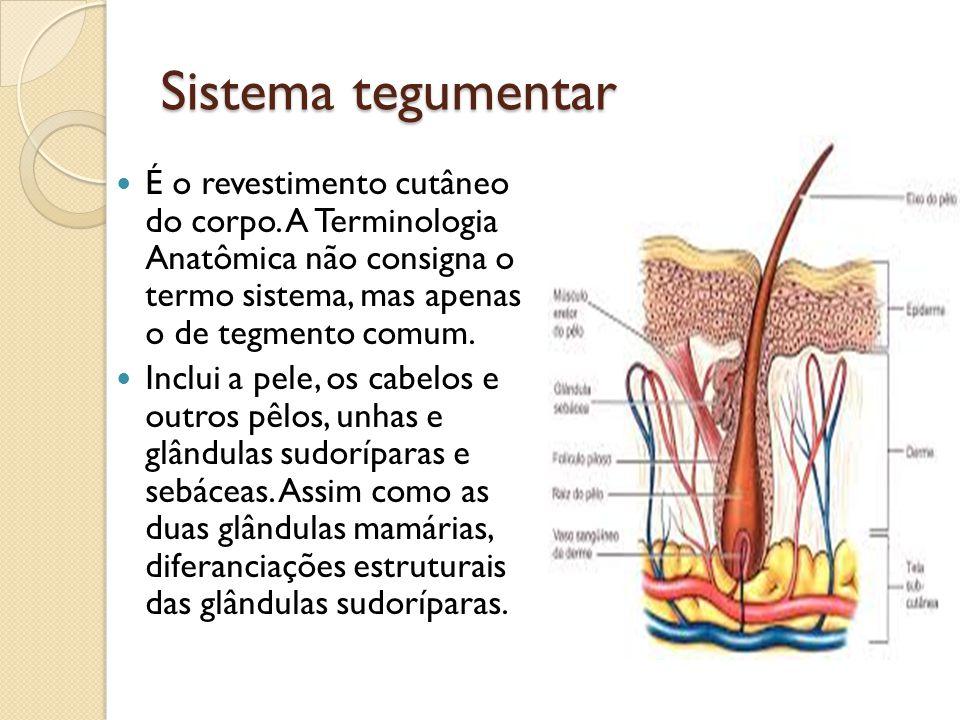 Sistema tegumentar É o revestimento cutâneo do corpo. A Terminologia Anatômica não consigna o termo sistema, mas apenas o de tegmento comum.