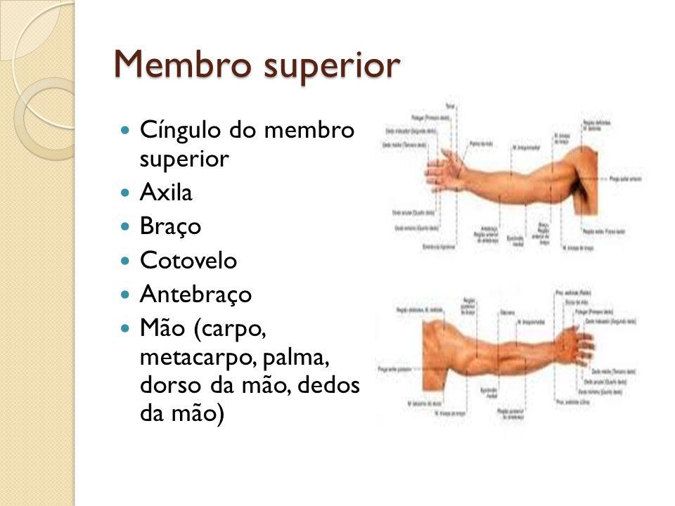 Membro superior Cíngulo do membro superior Axila Braço Cotovelo