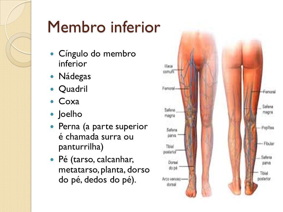 Membro inferior Cíngulo do membro inferior Nádegas Quadril Coxa Joelho