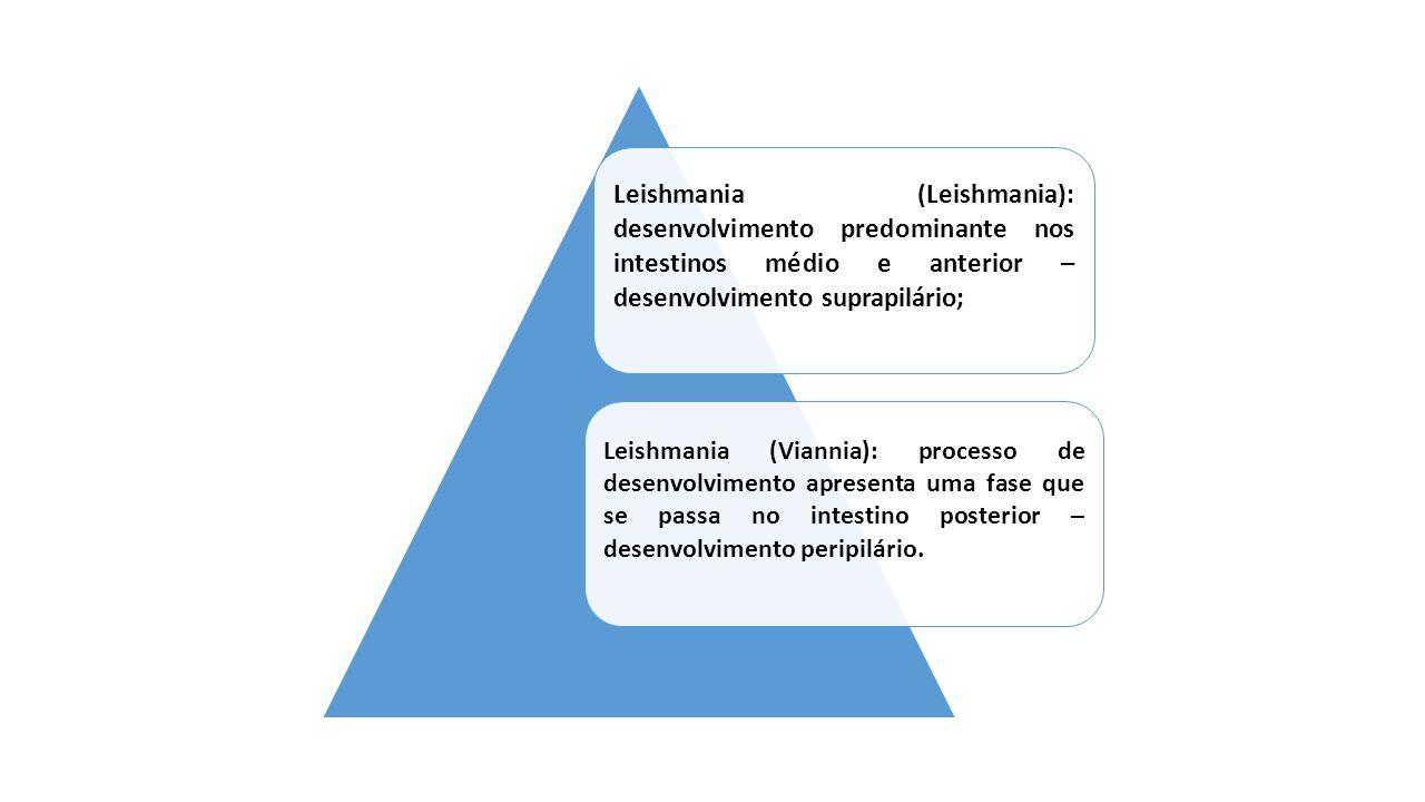 Leishmania (Leishmania): desenvolvimento predominante nos intestinos médio e anterior – desenvolvimento suprapilário;