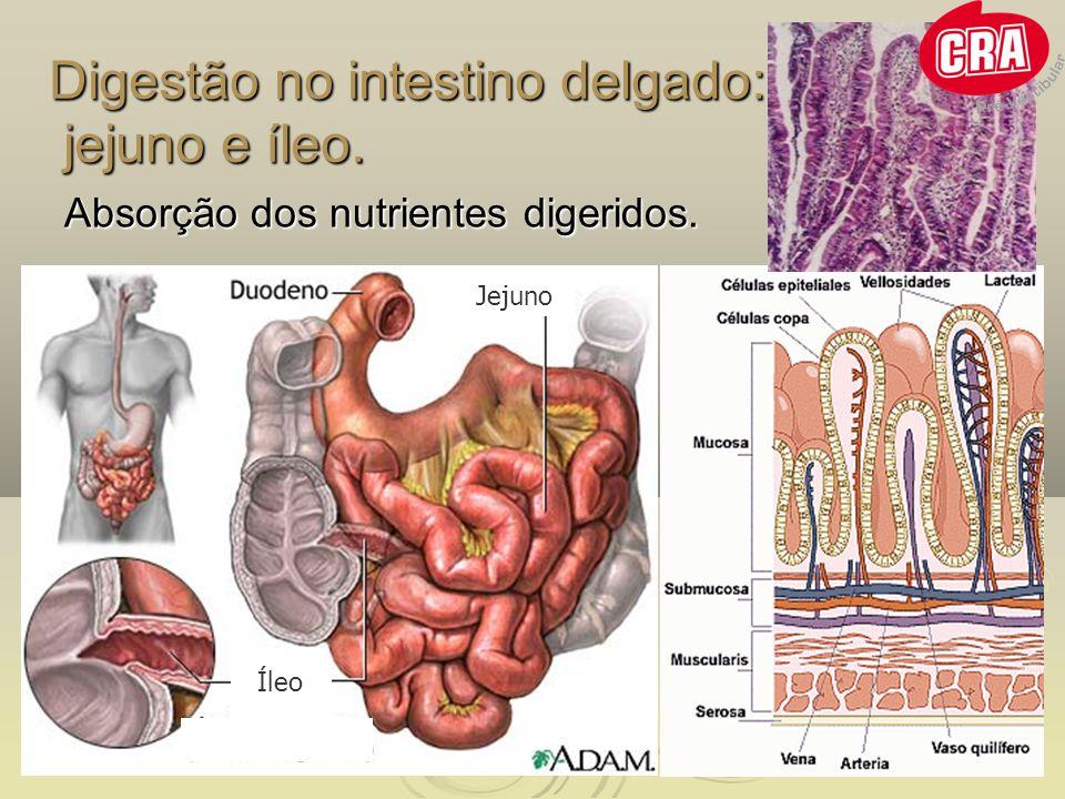 Digestão no intestino delgado: jejuno e íleo.