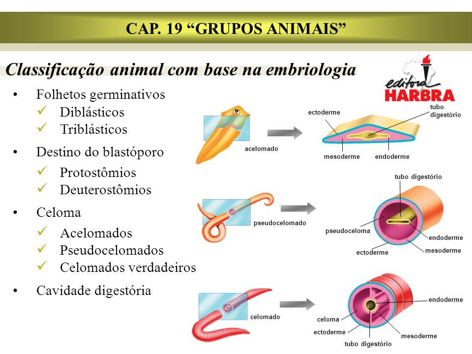 Classificação animal com base na embriologia