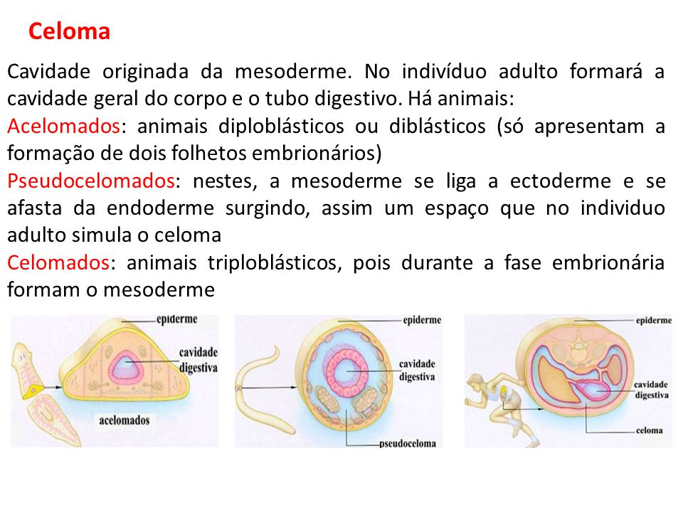Celoma Cavidade originada da mesoderme. No indivíduo adulto formará a cavidade geral do corpo e o tubo digestivo. Há animais: