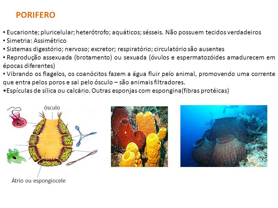 PORIFERO Eucarionte; pluricelular; heterótrofo; aquáticos; sésseis. Não possuem tecidos verdadeiros.