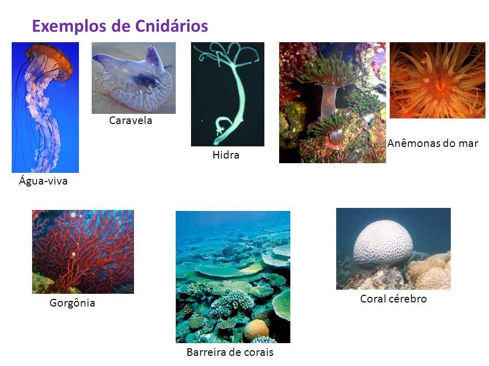 Exemplos de Cnidários Caravela Anêmonas do mar Hidra Água-viva