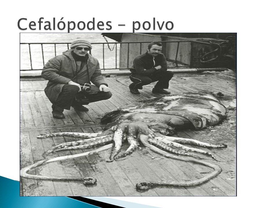 Cefalópodes - polvo