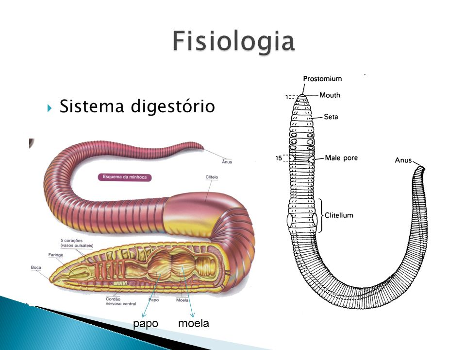 Fisiologia Sistema digestório papo moela