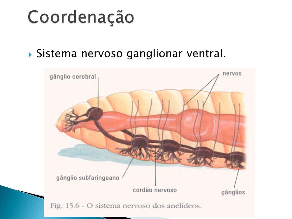 Coordenação Sistema nervoso ganglionar ventral.
