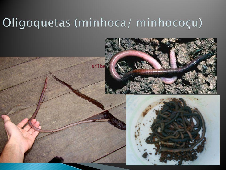 Oligoquetas (minhoca/ minhocoçu)