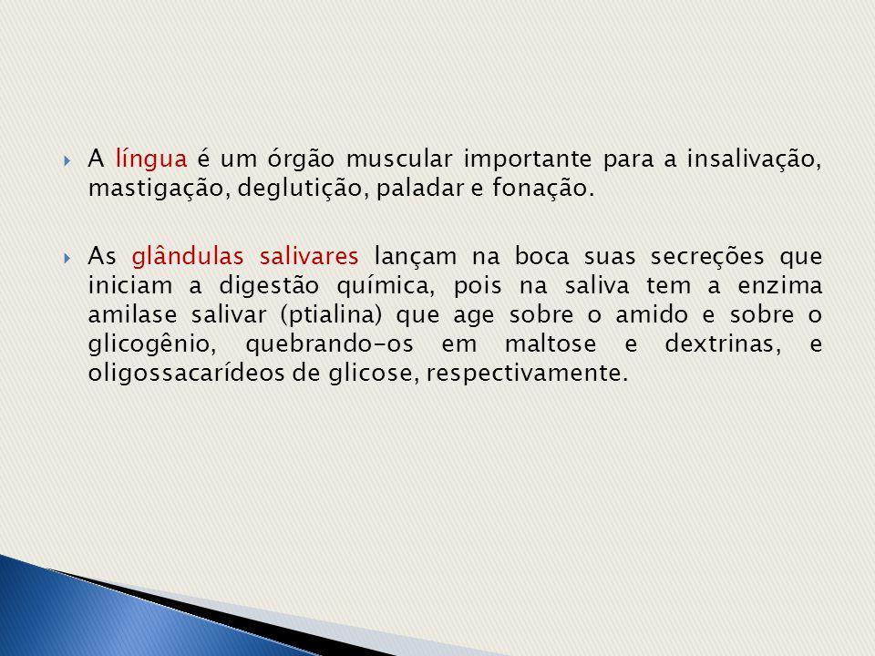 A língua é um órgão muscular importante para a insalivação, mastigação, deglutição, paladar e fonação.