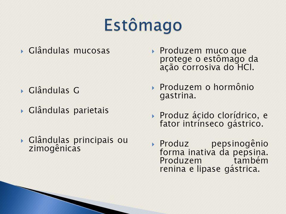 Estômago Glândulas mucosas Glândulas G Glândulas parietais