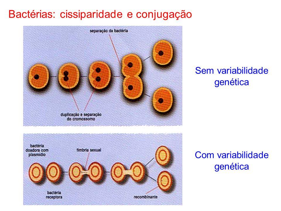 Bactérias: cissiparidade e conjugação