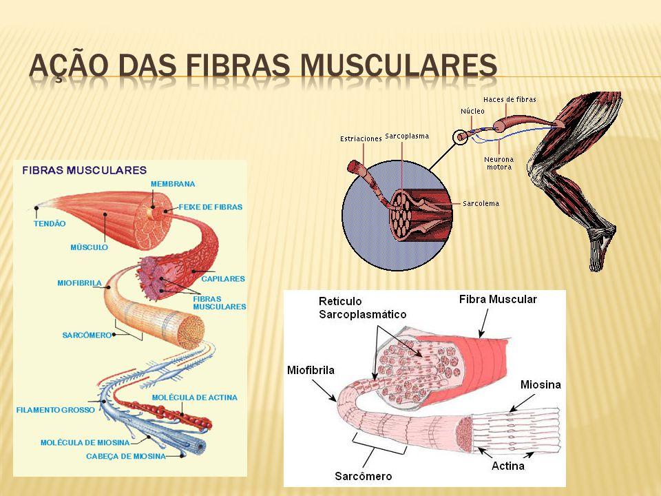 Ação das fibras musculares