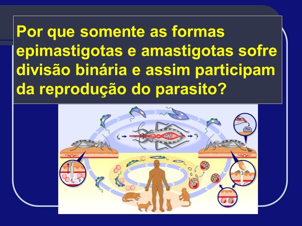Por que somente as formas epimastigotas e amastigotas sofre divisão binária e assim participam da reprodução do parasito