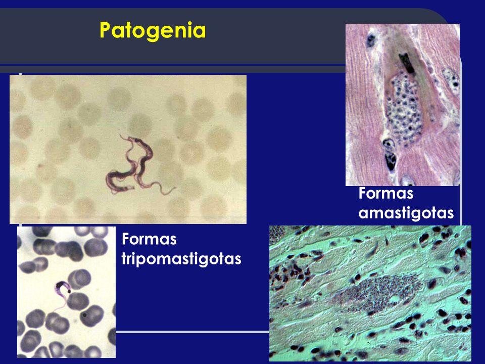 Patogenia Formas amastigotas Formas tripomastigotas