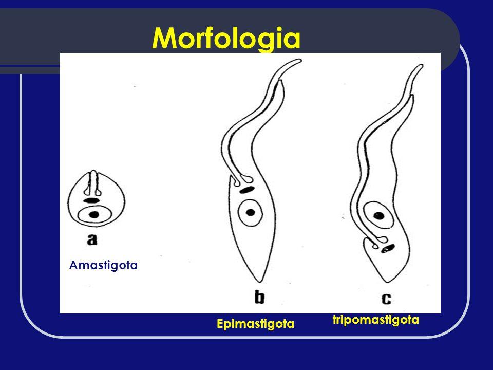 Morfologia Amastigota tripomastigota Epimastigota