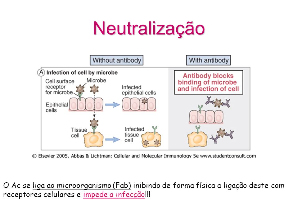 Neutralização O Ac se liga ao microorganismo (Fab) inibindo de forma física a ligação deste com receptores celulares e impede a infecção!!!