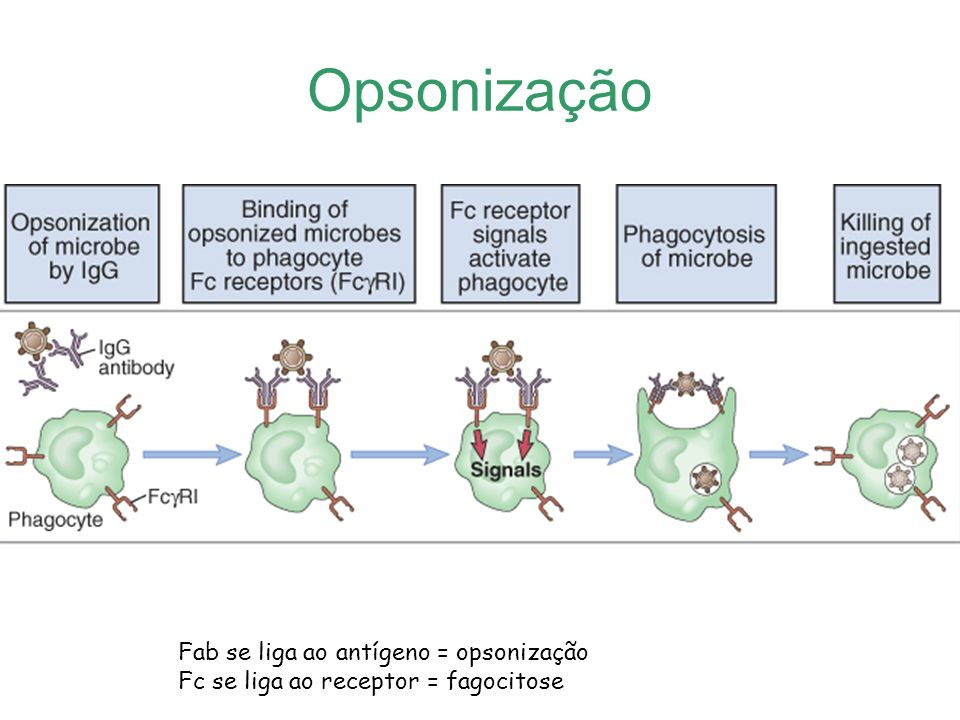 Opsonização Fab se liga ao antígeno = opsonização