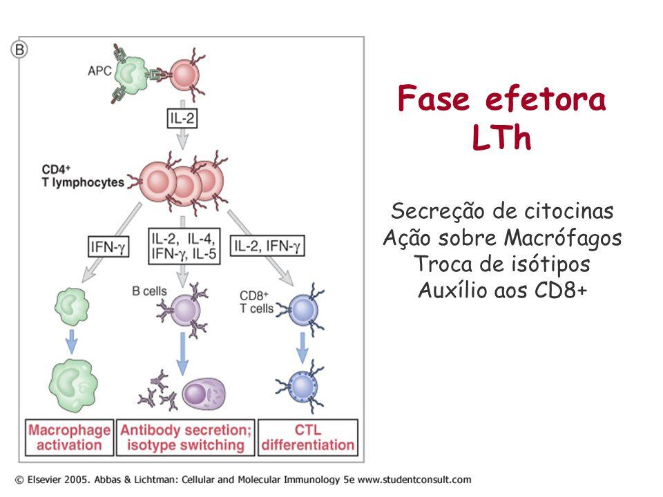 Fase efetora LTh Secreção de citocinas Ação sobre Macrófagos Troca de isótipos Auxílio aos CD8+