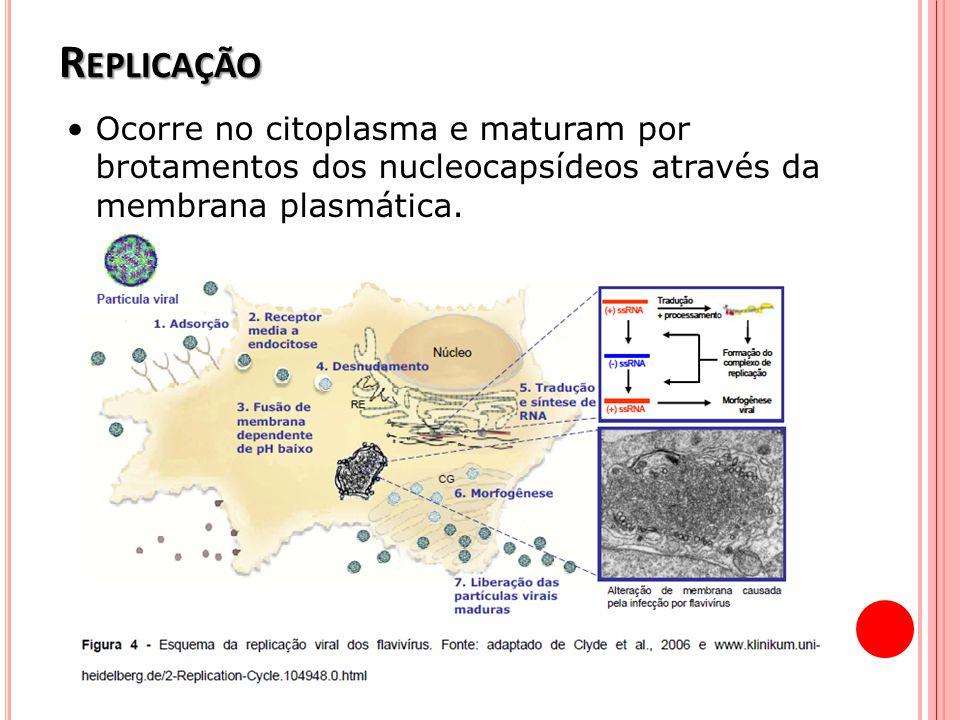 Replicação • Ocorre no citoplasma e maturam por brotamentos dos nucleocapsídeos através da membrana plasmática.