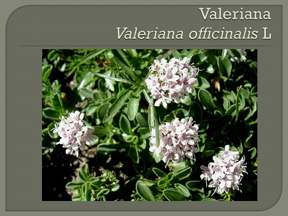 Valeriana Valeriana officinalis L