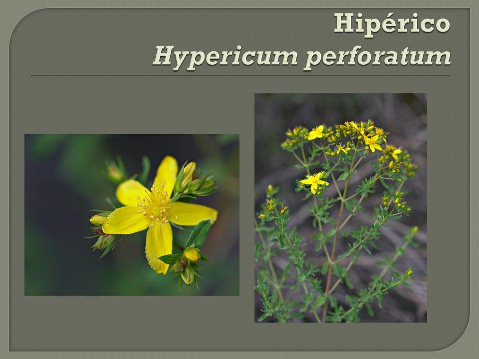 Hipérico Hypericum perforatum