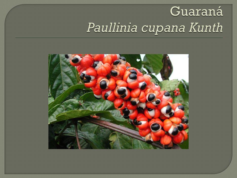 Guaraná Paullinia cupana Kunth