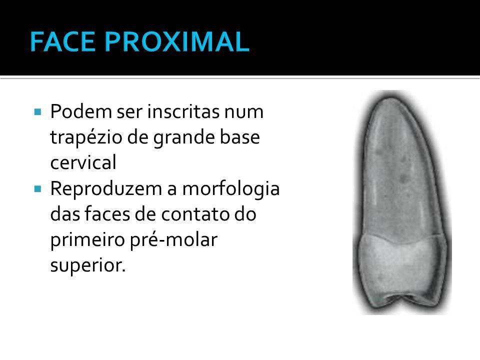 FACE PROXIMAL Podem ser inscritas num trapézio de grande base cervical