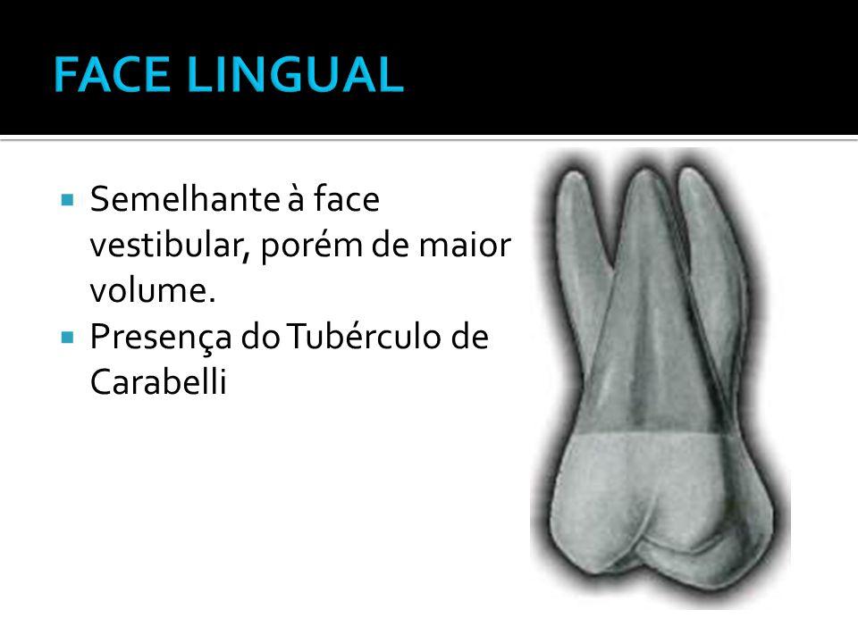 FACE LINGUAL Semelhante à face vestibular, porém de maior volume.