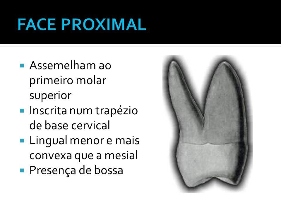 FACE PROXIMAL Assemelham ao primeiro molar superior