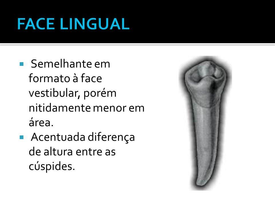 FACE LINGUAL Semelhante em formato à face vestibular, porém nitidamente menor em área.