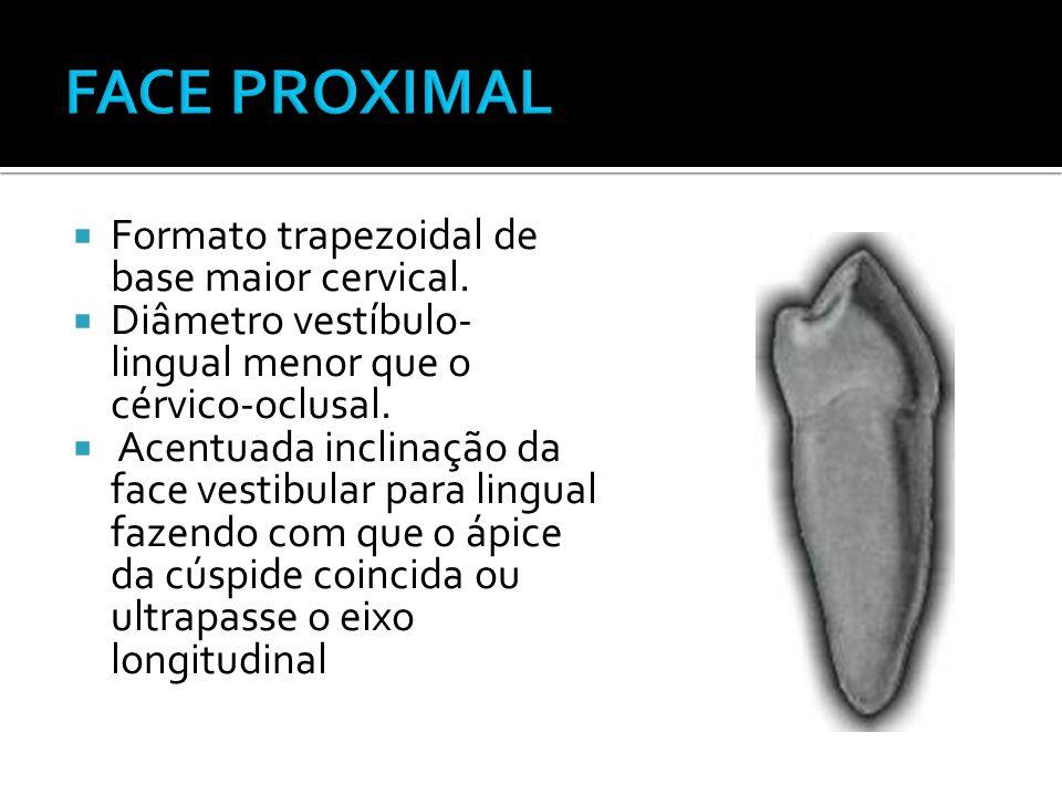 FACE PROXIMAL Formato trapezoidal de base maior cervical.