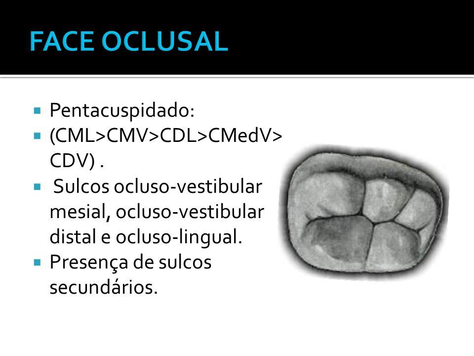 FACE OCLUSAL Pentacuspidado: (CML>CMV>CDL>CMedV> CDV) .