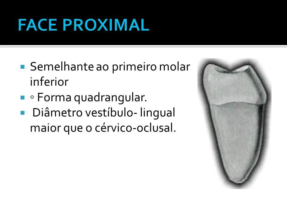 FACE PROXIMAL Semelhante ao primeiro molar inferior