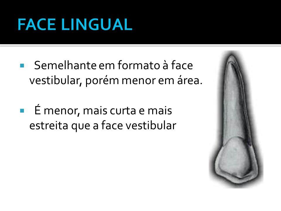 FACE LINGUAL Semelhante em formato à face vestibular, porém menor em área.