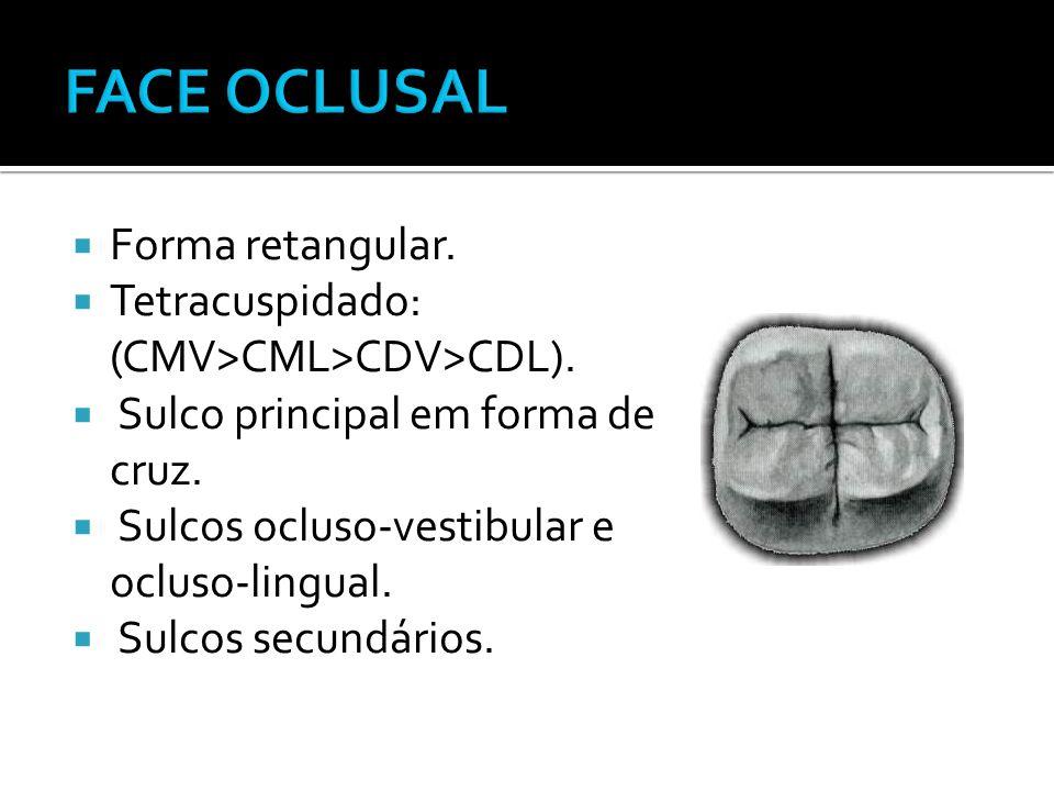 FACE OCLUSAL Forma retangular.
