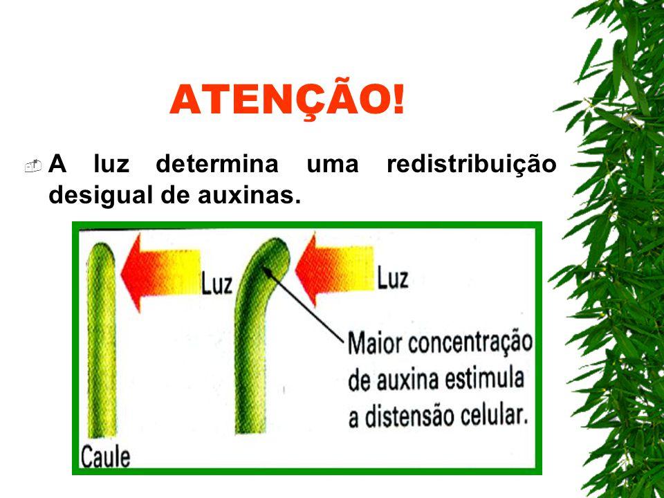 ATENÇÃO! A luz determina uma redistribuição desigual de auxinas.