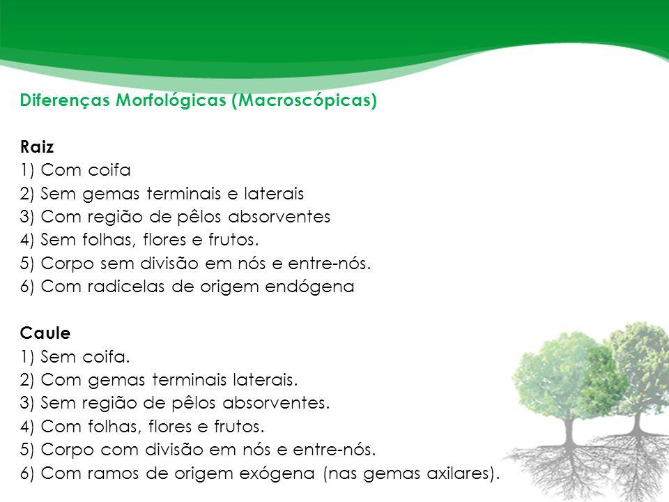 Diferenças Morfológicas (Macroscópicas) Raiz 1) Com coifa 2) Sem gemas terminais e laterais 3) Com região de pêlos absorventes 4) Sem folhas, flores e frutos.