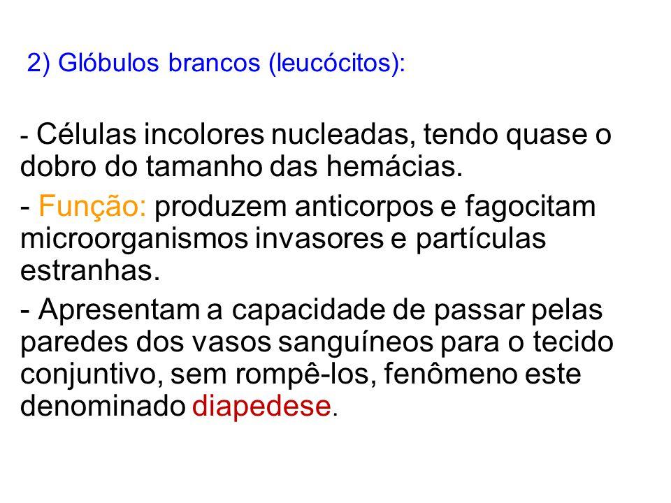 2) Glóbulos brancos (leucócitos):