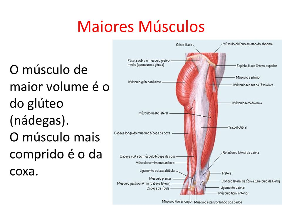 Maiores Músculos O músculo de maior volume é o do glúteo (nádegas).