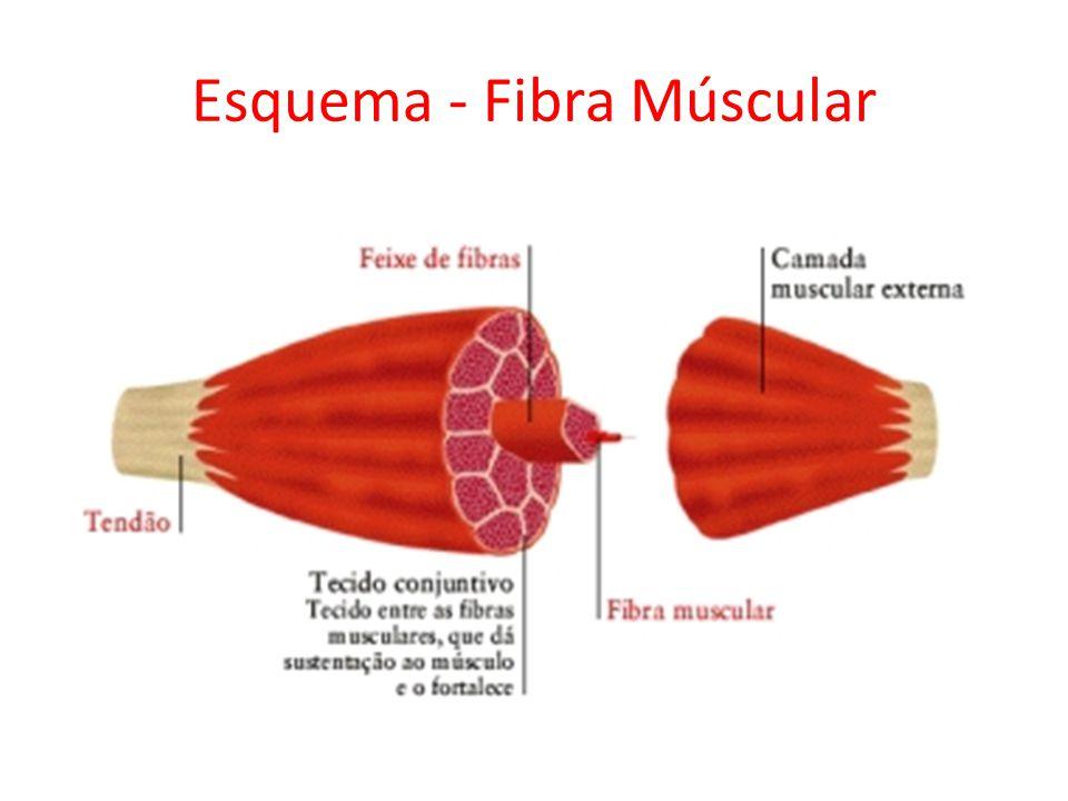 Esquema - Fibra Múscular