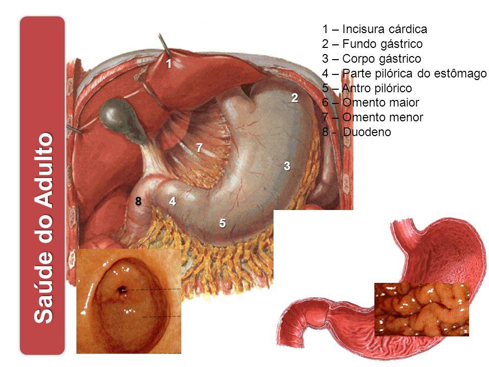 Saúde do Adulto 1 – Incisura cárdica 2 – Fundo gástrico