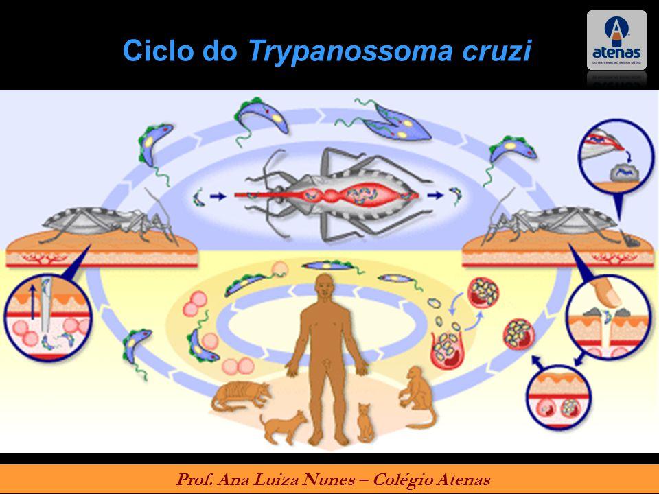 Ciclo do Trypanossoma cruzi Prof. Ana Luiza Nunes – Colégio Atenas