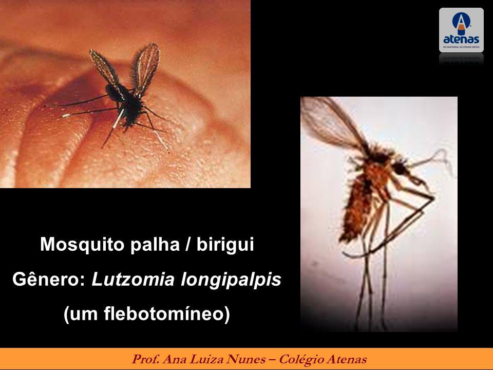 Mosquito palha / birigui Gênero: Lutzomia longipalpis